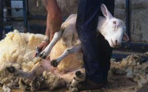 sheep-shearing_2112332b1