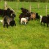 kids-sheep