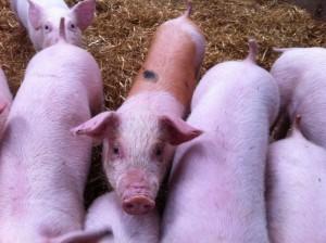 spotthe pig 003